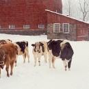 Dairy Barn Snowfall