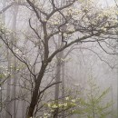 Forest Dogwood in Fog