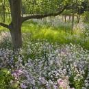 Forest Phlox