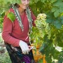 Vendemia, Woman Harvesting