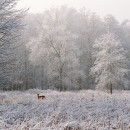 Doe in Snowy Meadow