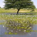 Lily Pond Tree