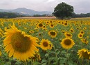 Avelino Sunflowers
