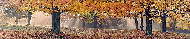 Sunlight Through the Sugar Maples Pan