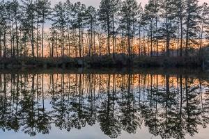 Dixie Pine Symmetry