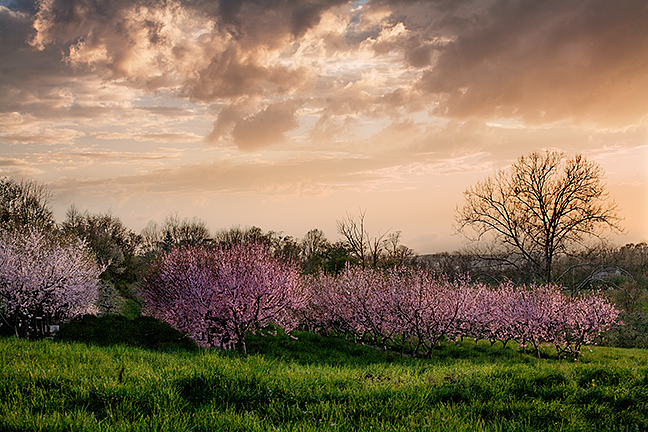 Peach Orchard Flowers
