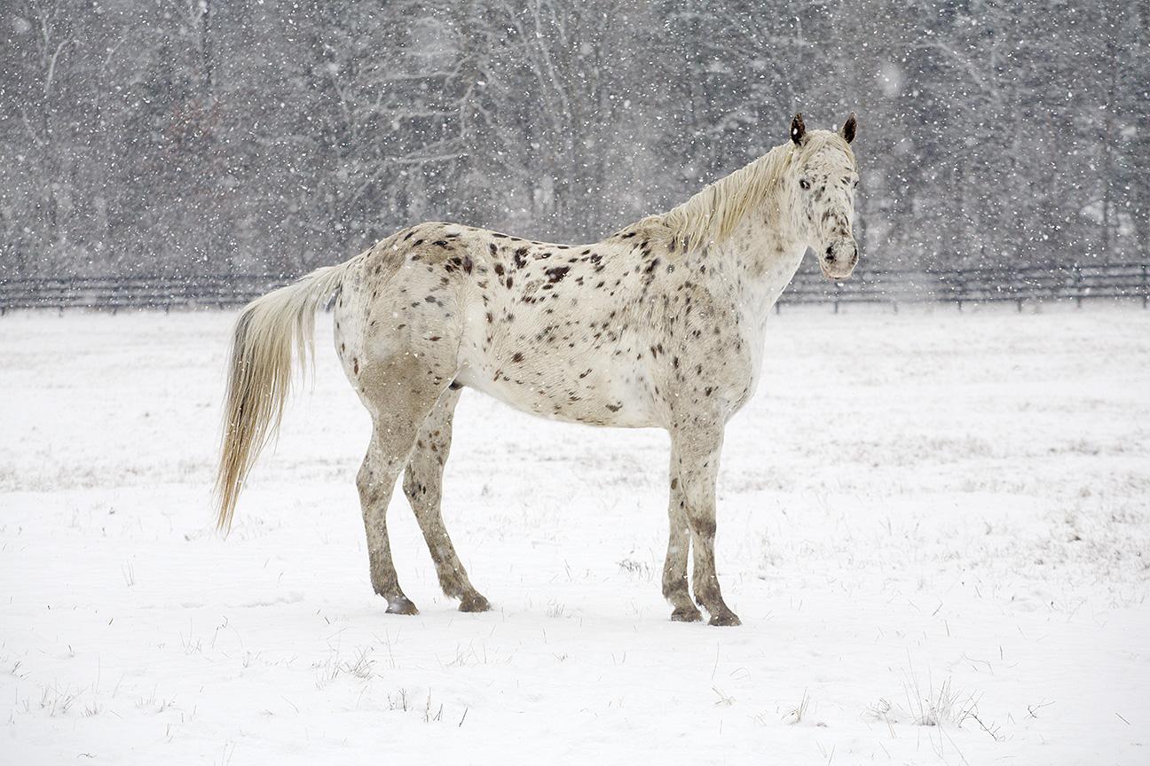 Appaloosa Winter