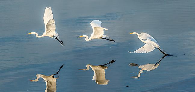 Egret Flight Sequence