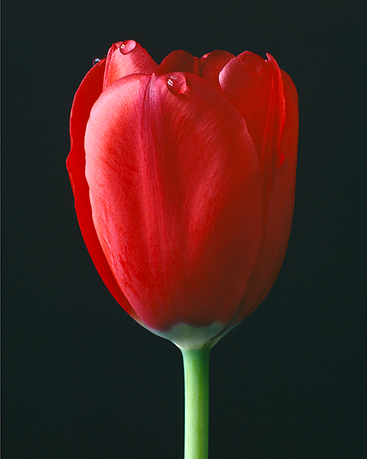Red Tulip with Dew